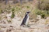Magellanic Penguin   in Patagonia — Stock Photo