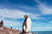 Rockhopper penguins in Argentina — Stock Photo
