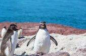 Rockhopper penguins in Argentina — Стоковое фото