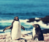 Rockhopper penguins in Argentina — Stockfoto