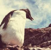 Rockhopper penguin in Argentina — Stock Photo