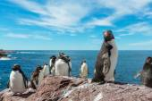 Rockhopper penguins in Argentina — Fotografia Stock
