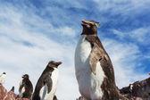 阿根廷企鹅 — 图库照片
