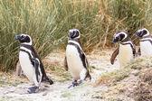 Macellan pengueni Patagonya — Stok fotoğraf