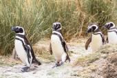 Tučňák magellanský v Patagonii — Stock fotografie