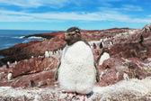 Rockhopper penguin in Argentina — Stock Photo