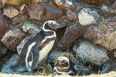 Magellanic Penguins  in Patagonia — Stock Photo