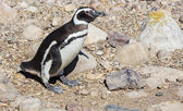 Magellanic Penguin in patagonia — Stock Photo