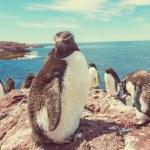 Rockhopper penguins in Argentina — Stock Photo #67797809