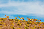 Guanaco Llamas in Patagonia — Stock Photo
