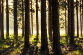 Sun beams in forest — Stock Photo
