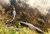 Alligator at zoo in Florida — Stock Photo