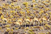 Guanaco animals in Patagonia — Stock Photo