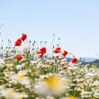 Blooming Poppy flowers — Stock Photo #75642325