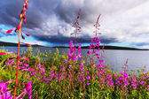Meadow with purple flowers — Stock Photo