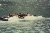 Harbor seals in alaska — Stock Photo