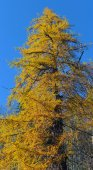 Larch yellow — Stock Photo