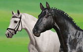 Black & white horses — Foto de Stock