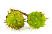 Horse-chestnut on a white background  — 图库照片