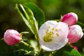 春に咲くりんごの木 — ストック写真
