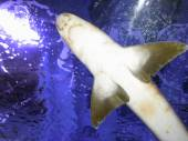 Small shark in the deep blue water from bottom — Fotografia Stock
