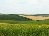 Agricultural landscape - wheatfield, sunflower and gardens — Stock Photo