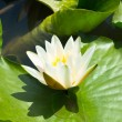 Beautiful pink water lily lotus flower in pond green leaves — Stock Photo #78342994
