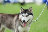 Cachorro de perro husky — Foto de Stock