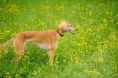 Happy dog running through a meadow with buttercups — Stock Photo