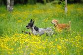 Happy honden loopt door een weiland met boterbloemen — Stockfoto