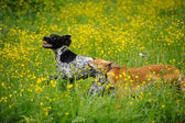 Happy dogs running through a meadow with buttercups — Stock Photo