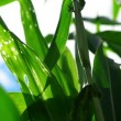 Green Corn Maize Plants in cultivated agricultural field with sun rays and flare ready for silaging — Stock Video #51923301