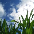 Green Corn Maize Plants in cultivated agricultural field with sun rays and flare ready for silaging — Stock Video #51924473