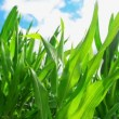 Green Corn Maize Plants in cultivated agricultural field with sun rays and flare ready for silaging — Stock Video #51924739