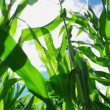 Green Corn Maize Plants in cultivated agricultural field with sun rays and flare ready for silaging — Stock Video #51925481