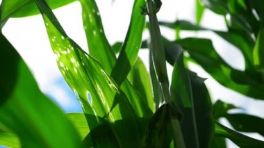 Green Corn Maize Plants in cultivated agricultural field with sun rays and flare ready for silaging — Stock Video