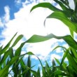 Green Corn Maize Plants in cultivated agricultural field ready for ensilage — Stock Video #52012107