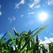 Green Corn Maize Plants in cultivated agricultural field ready for ensilage — Stock Video #52014817