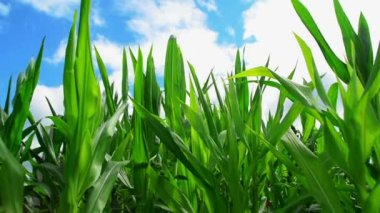 Green Corn Maize Plants in cultivated agricultural field ready for ensilage — Stock Video