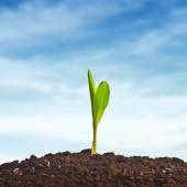 Young corn plant sprout — Stock Photo