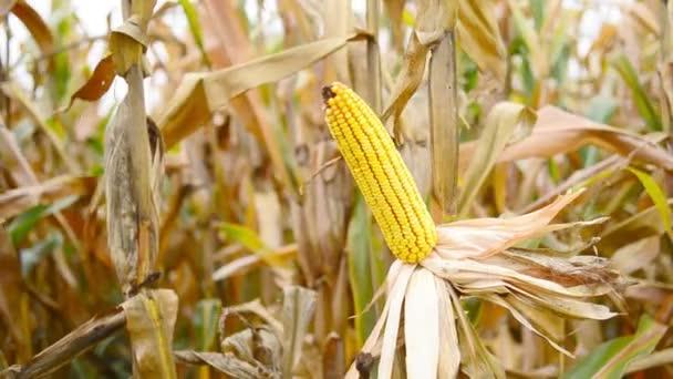 Mûres maïs en épis dans le champ de maïs agricole cultivé prêt pour le prélèvement de la récolte — Vidéo