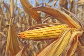 Ripe maize corn on the cob — Foto Stock