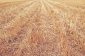 Wheat Stubble Field — Stock Photo
