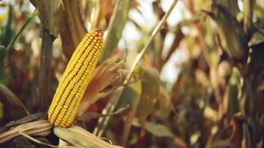 Ripe maize on the cob in cultivated agricultural corn field ready for harvest picking — ストックビデオ