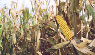 Ripe maize on the cob in cultivated agricultural corn field ready for harvest picking — Stock Video