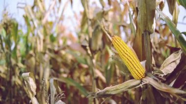Ripe maize on the cob in cultivated agricultural corn field ready for harvest picking — Vídeo de stock