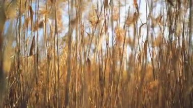 Dry reed grass on a sunny autumn day — Stock Video
