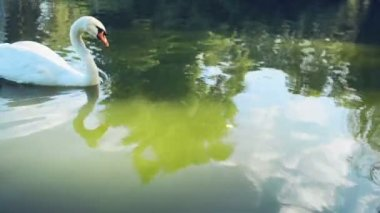 Swan swimming in the lake — Stock Video