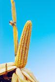 Ripe maize corn on the cob — Stock Photo