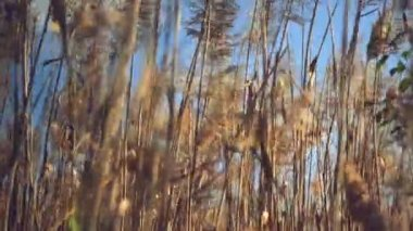 Dry reed plants on a sunny autumn day. — Stock Video